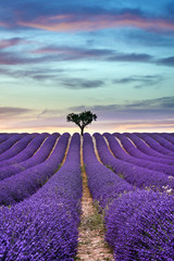 Panel Szklany Lawenda Lavender field Summer sunset with tree on the horizon