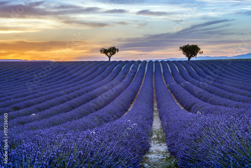 Lavender field Summer sunset landscape with trees