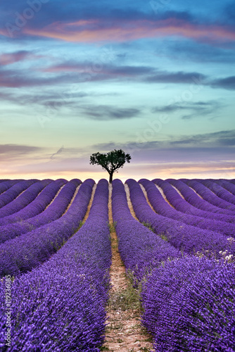 Poster Prune Lavender field Summer sunset with tree on the horizon