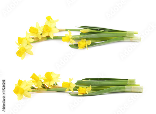 Garden Poster Narcissus Yellow narcissus flower isolated