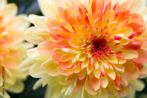 Dahlia flowers close up for yellow background. Fototapet