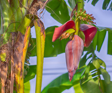 Banana Blossom In The Garden, HDR Processing Effect.