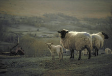 Welsh Mixed Breed Sheep And La...