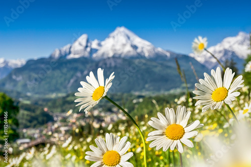 Foto op Canvas Madeliefjes Beautiful blooming flowers with snow-capped mountain tops in the Alps in spring