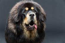 Beautiful Big Tibetan Mastiff ...