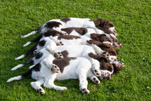 Five Sleeping Puppies - English Springer Spaniel