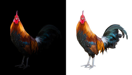 colorful rooster in the dark and white background