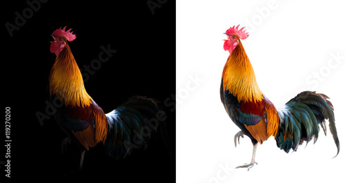 Photo  colorful rooster in the dark and white background