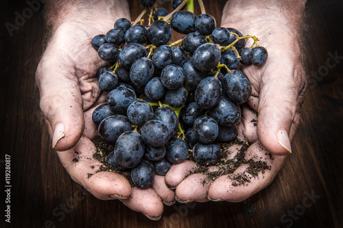 Fotografía  hands with cluster of black grapes, farming and winemaking conce