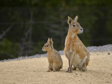 Patagonian Mara And Young (Dolichotis Patagonum) Seated On Sand