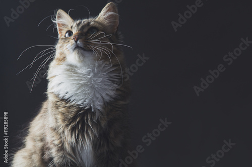 portrait of a beautiful cat on a gray background