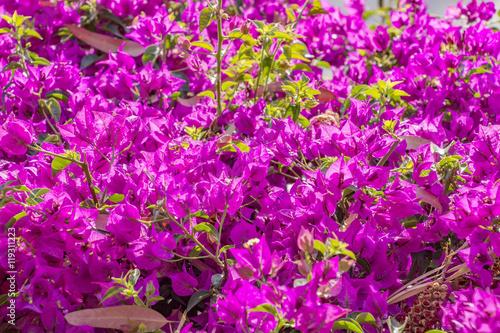 Bougainvillaea in blossom Fotobehang