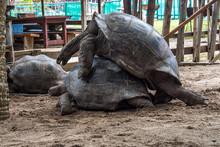 Seychellen - Riesenschildkröte Auf Curieuse Bei Der Paarung