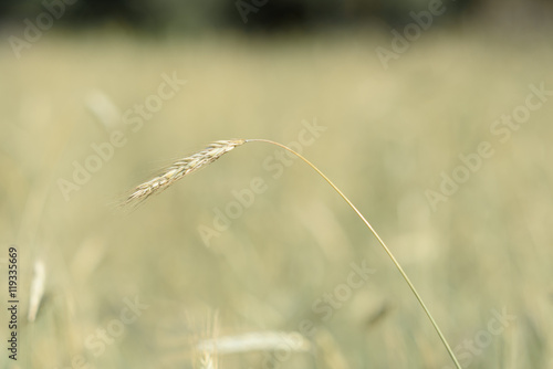 Fototapety, obrazy: ears wheat closeup on the background of field