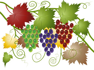Fototapeta Do winiarni Grapes green, red and blue