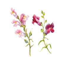 Watercolor Snapdragon Flower