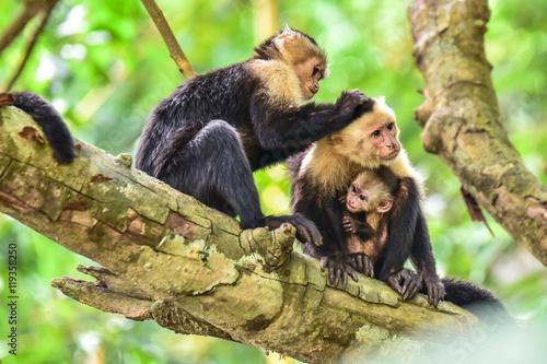 Capuchin Monkey on branch of tree - animals in wilderness Wallpaper Mural