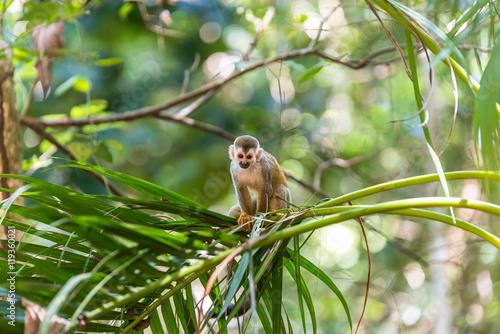 Squirrel Monkey on branch of tree - animals in wilderness Canvas Print
