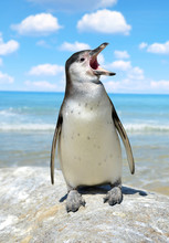 The Humboldt Penguin (Spheniscus Humboldti)