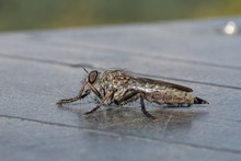 Closeup Horsefly