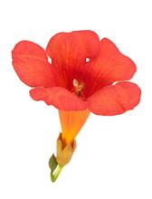 Trumpet Creeper Flower