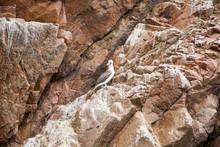 Seagull On Rock Iceland - The Ballestas Islands - Pisco - Peru