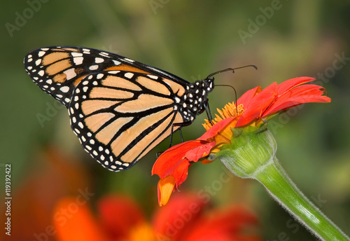 Photo  Monarch Butterfly