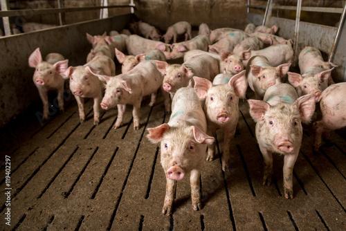 pig at factory Fototapeta