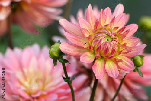 Poster de jardin Dahlia Yellow-pink dahlia