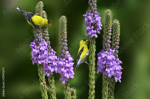 Photo  American Goldfinch