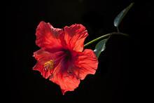 Red Hibiscus Flower On Black Blackground