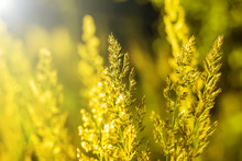 Grass At Dawn With Golden Lights - Nature Website Banner