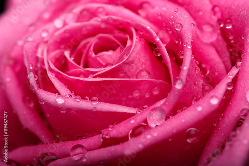 Closeup on Center of Beautiful pink Rose