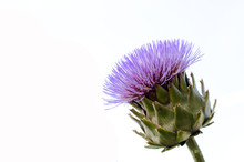 Isolated Flowering Artichoke