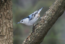 White Breasted Nuthatch, Sitta...
