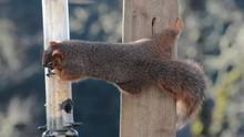 A Fox Squirrel Stealing Seeds ...