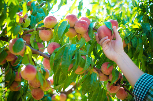 Stampe  Harvesting peaches in the garden