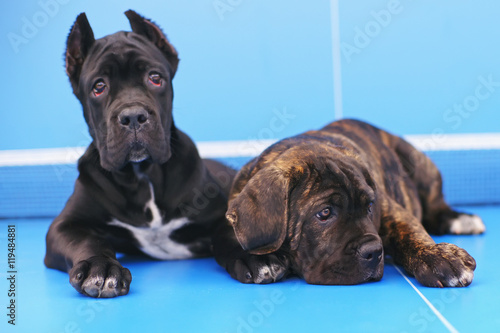 Black And Brindle Cane Corso Puppies Lying On A Blue Ping Pong Table