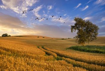 Panel Szklany Wiejski Lonely tree in a field of ripe grain in the light of the setting sun