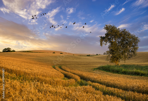 Lonely tree in a field of ripe grain in the light of the setting sun - 119495487