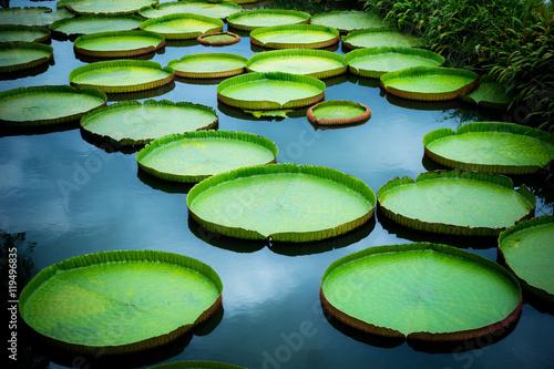 Foto  Huge floating lotus, Giant Amazon water lily, Victoria amazonia