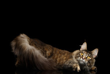 Playful Maine Coon Cat Lying And Funny Looks Up Isolated On Black Background