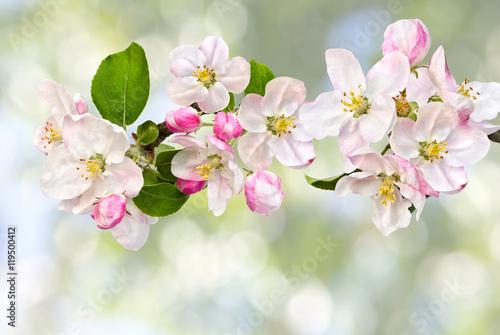 Fototapeta Apple blossom on defocused of natural background of blooming trees obraz na płótnie