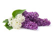 Bouquet of flowers lilac different colors on a white background with space for text.