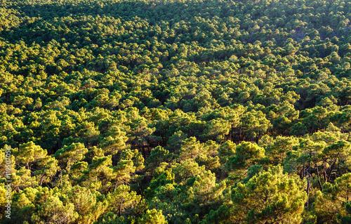 Vista aérea Pinar de Castrocontrigo, León. Pino Negral. Pinus pinaster. © LFRabanedo