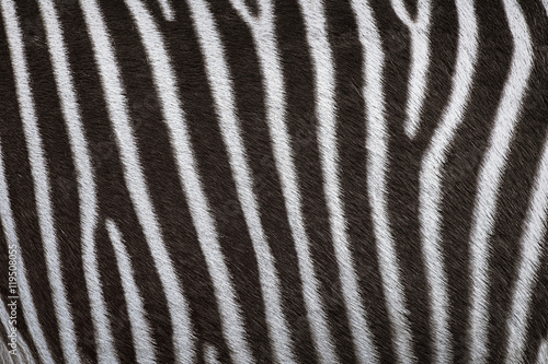 Aluminium Prints Zebra Zerbra Coat Background