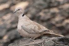 Eurasian Collared Dove (Streptopelia Decaocto), Fuerteventura, Spain