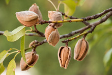 Ripe Almonds On The Tree Branc...