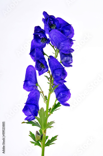 blauer Eisenhut Aconitum napellus Canvas Print