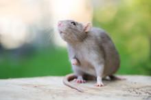 Adorable Grey Pet Rat Posing O...